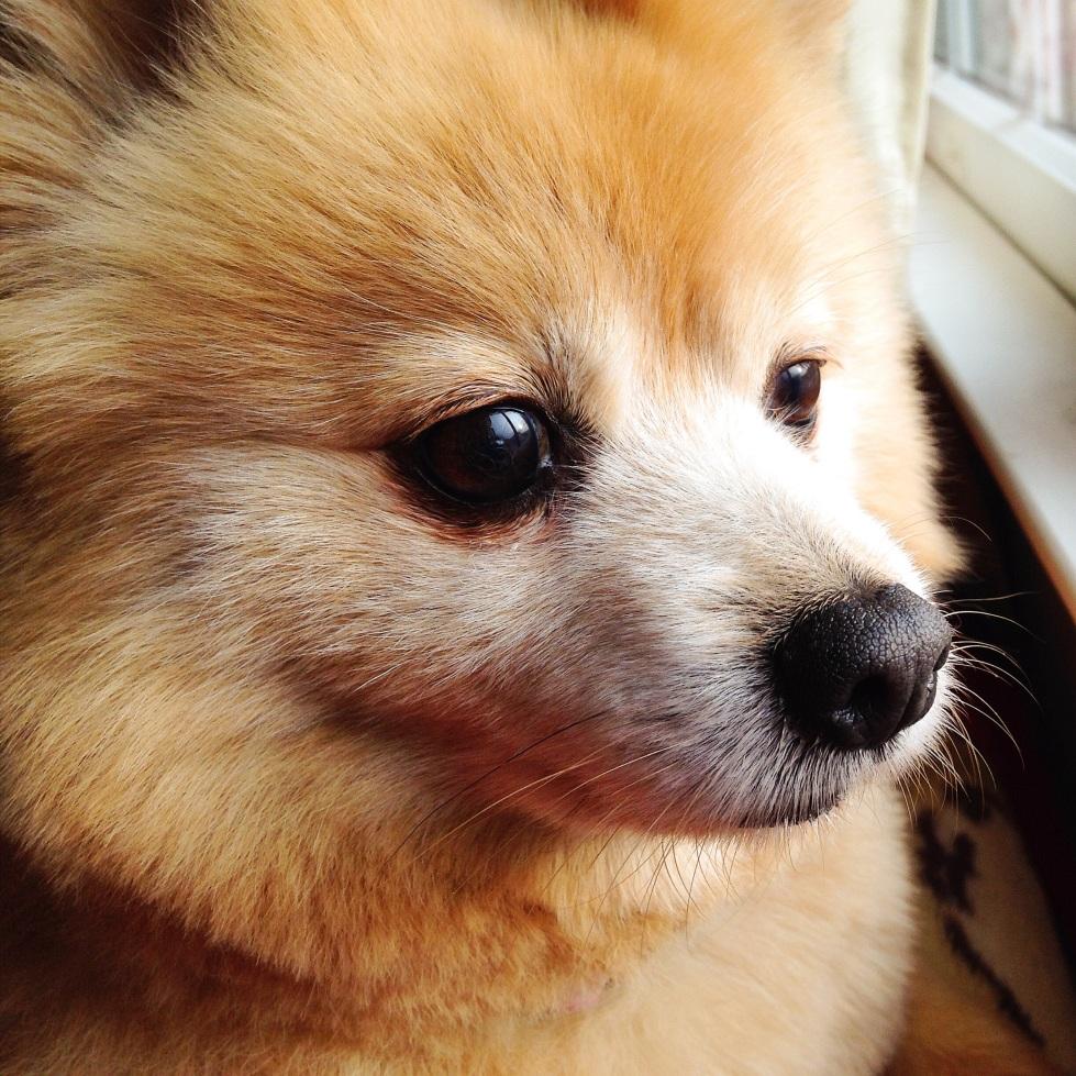 Pomeranian post-grooming