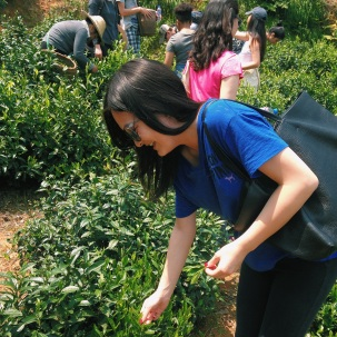 Chengkan tea leaf picking