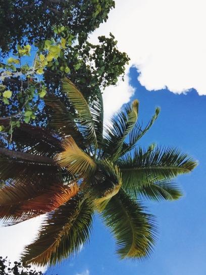 Palm tree at Trunk Bay Beach in St. John