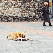 Dog munching on a large bone in front of Galata Tower