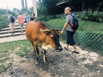 Cows on HK Wisdom Path